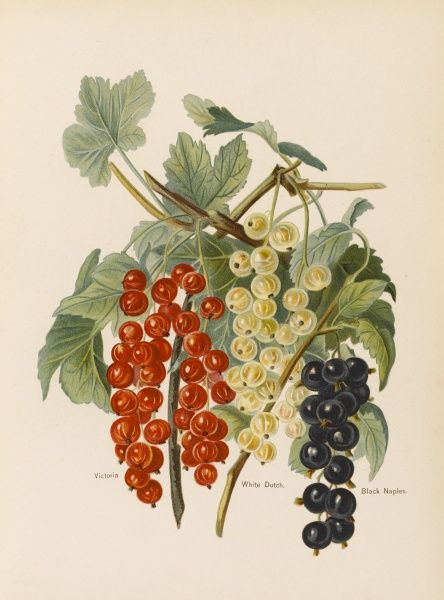 Victoria (red currant) White Dutch Black Naples (black currant)