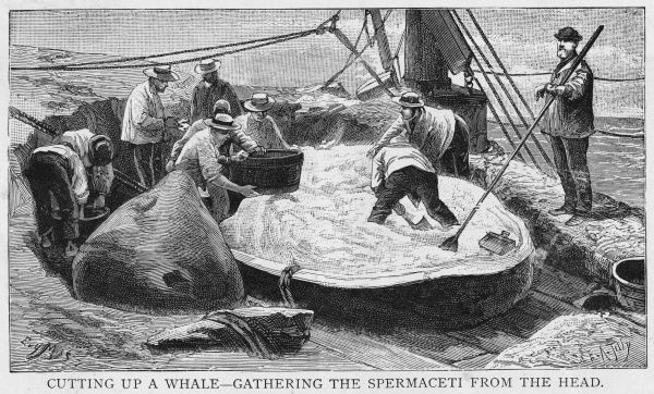 Cutting up a whale - gathering spermaceti from the head