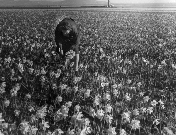 A woman picking daffodils in a field at Hale, Lancashire, England. Date: 1950s