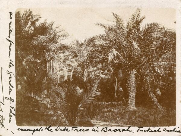 Date Palms in Basra, Iraq - 40 miles from the Garden of Eden (or the alledged site of the Garden of Eden). Date: 1906