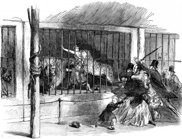 Engraving showing Ellen Bright (1832-1850), a 'Lion Queen' animal trainer, being attacked by a tiger during the course of a performance at Wombwell's Menagerie, Chatham, January 1850. Ellen Bright sustained fatal wounds from the tiger's attack