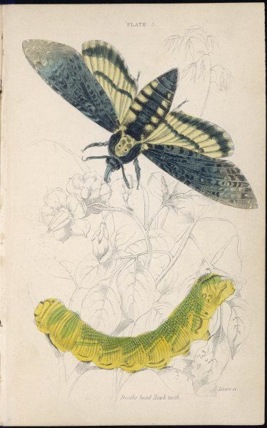 DEATH'S HEAD HAWK MOTH with its caterpillar Date: 1880