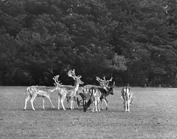 Deer in Woburn Park in Bedfordshire