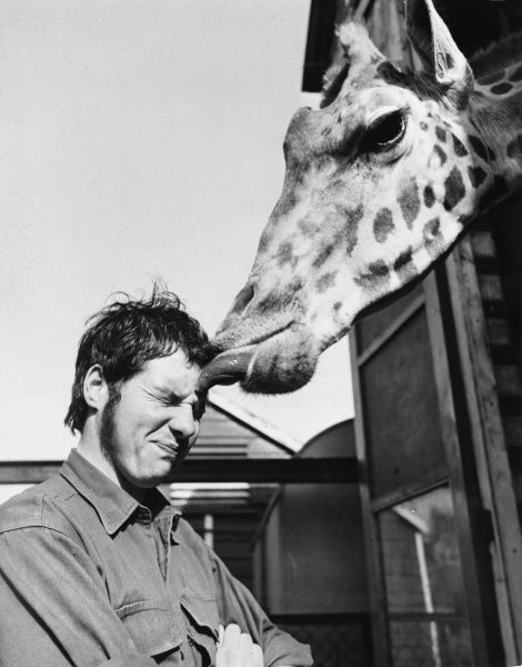 A big kiss greets keeper David Flower every morning when he arrives at work, from the other woman in his life, a giraffe called Delilah! Date: 1960s