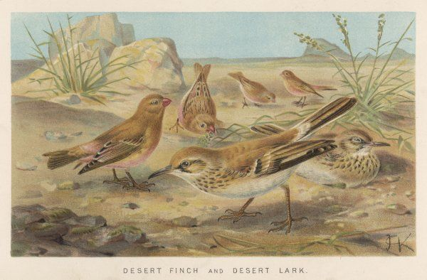 (Erythrospiza githaginea) depicted with some DESERT LARKS (alaemon desertorum)
