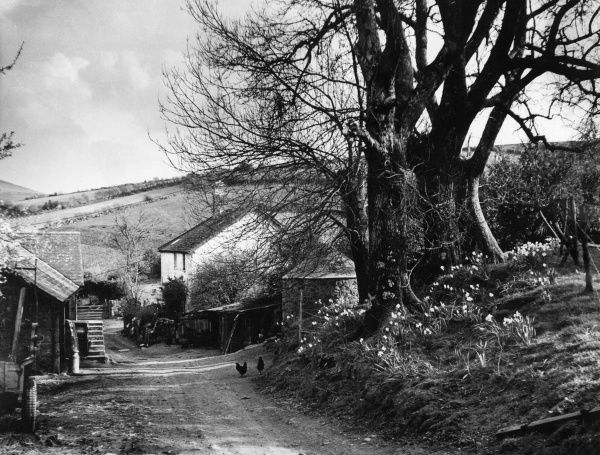 A springtime scene at Wormhill Farm, a picturesque farmstead on the edge of Dartmoor, near North Bovey, Devon, England. Date: 1950s