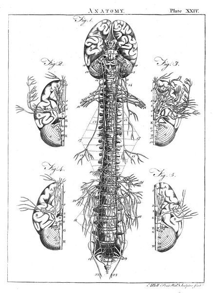A diagram of the brain and spinal column, including the vertebrae