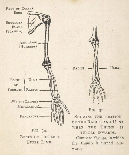 Diagrams of the bones of the left arm and hand, showing the position of the radius and ulna when the thumb is turned inwards. The shoulder blade and part of the collar bone can also be seen