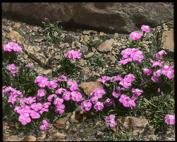 Dianthus Alpinus (Alpine Pink), a perennial flowering plant of the Caryophyllaceae family. Seen here growing in a rocky setting
