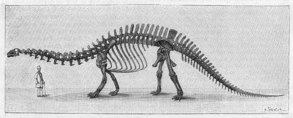 Skeleton of APATOSAURUS (also known as Brontosaurus excelsus) found in the Rocky Mountains