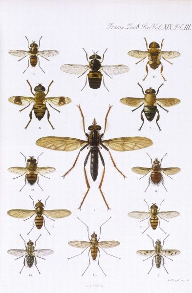 A variety of DIPTERA. Date: 1909-1910