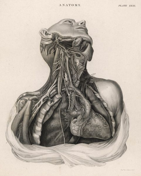 A dissection of the upper torso of a human body, showing the heart, lungs, veins and arteries