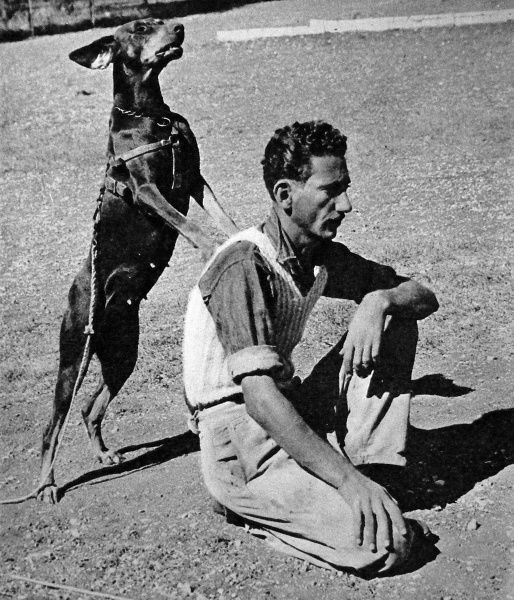Photograph showing a doberman dog of the Palestine Police Force, during training, identifying the person it was told to track, November 1945