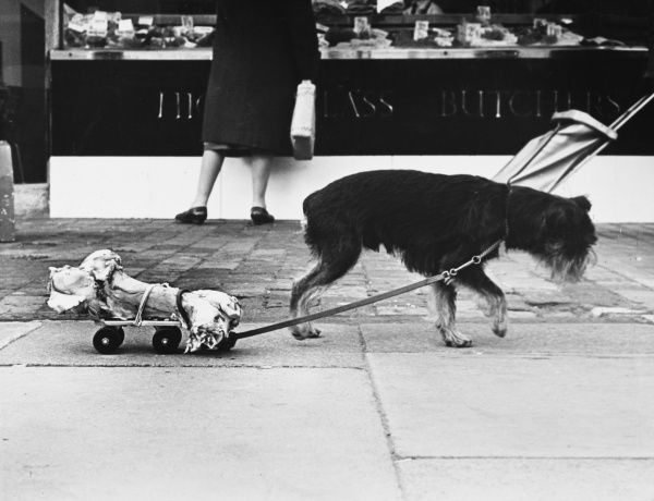 An ingenious dog pulls its bone home on a roller skate! Date: 1960s