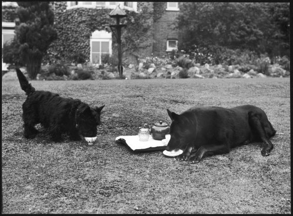Two Black Scottie (Scottish Terrier) dogs taking afternoon tea on their garden lawn, one from a cup and the other from a saucer!