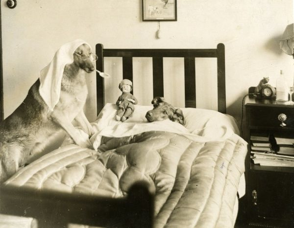 'Tess' and 'Twinkle', two remarkably intelligent Alsatians belonging to Mr. L. Goodwin of Cliftonville, give a clever interpretation of a doctor's bedside consultation! Date: 1930s