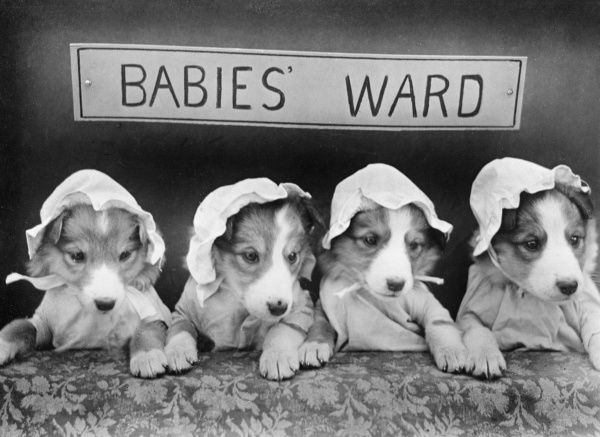 'Babies Ward' : Four little dogs in baby bonnets! Date: early 1930s