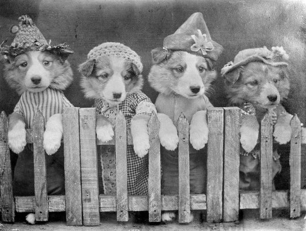 Four dogs in hats behind a picket fence. Date: early 1930s