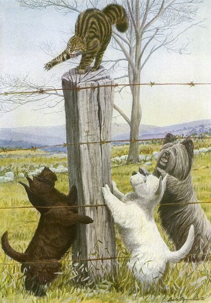 Three dogs harass a cat. A Scottish Terrier, West Highland Terrier and a Skye Terrier surround a cat that has adopted a defensive posture on top of a fence post Date: 20th century