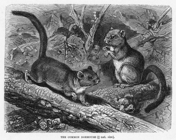 (muscadinus avellanarius) The hazel dormouse has a cousin named the Edible Dormouse, but this one rarely if ever features on the menu except during Prussian sieges