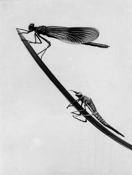 Two dragonflies (agrion splendens) on a blade of grass. Date: 1960s