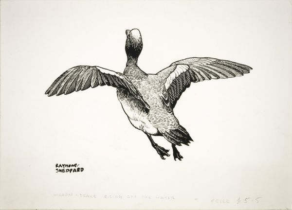 A Drake Wigeon taking off from the water. Pen and ink drawing by Raymond Sheppard