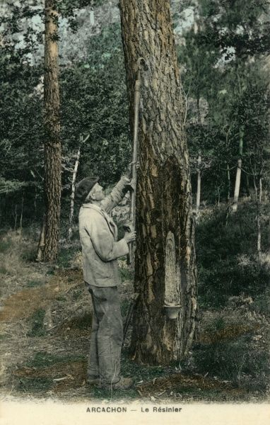 Drawing off resin frompine trees near Arcachon in southwest France. Date: early 20th century