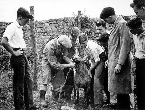 Drenching a sheep - i.e. administering medicine Date: 1950s