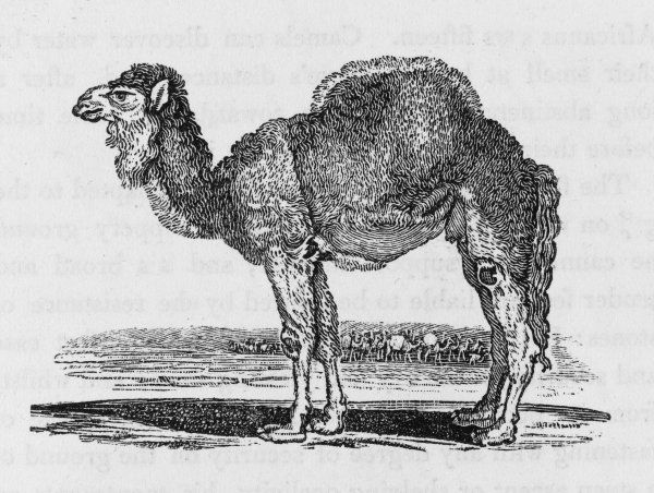 Camelus dromedarius: also known as the Arabian Camel. More numerous and swifter than the camel proper. Date: 1790