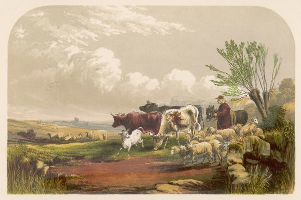 A drover & his donkey leads his sheep & cattle to graze on common land