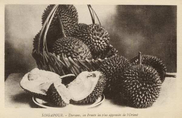 "The durian fruit is distinctive for its large size, unique odour (some compare it to sewage, stale vomit, skunk spray), and formidable thorn-covered husk. Anthony Burgess wrote that eating durian is ""like eating sweet raspberry blancmange in the lavatory"