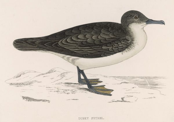 Though Morris calls this a DUSKY PETREL, we know of no bird with that name, and it looks more like a Manx Shearwater than anything else