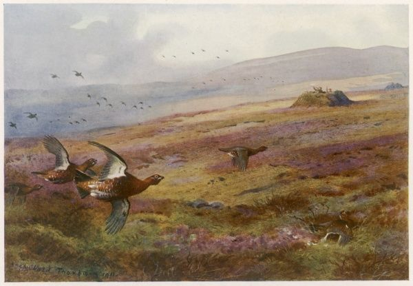 Grouse - Edward VII takes part in a royal grouse shoot on the moors near Balmoral, his Scottish home