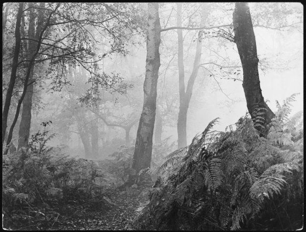 An eerie, misty wood with ferns, near Esher Common, Surrey, England