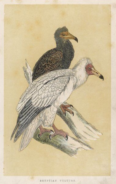 EGYPTIAN VULTURE (Neophron peronopterus)