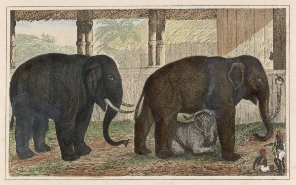 A family of Indian elephants in captivity : the mother is suckling her child