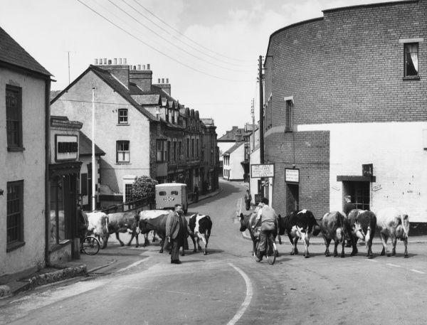 Cattle being driven through the ancient town of Watchet Somerset, an interesting old seaport