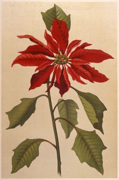 POINSETTIA, or MEXICAN FLAME LEAF