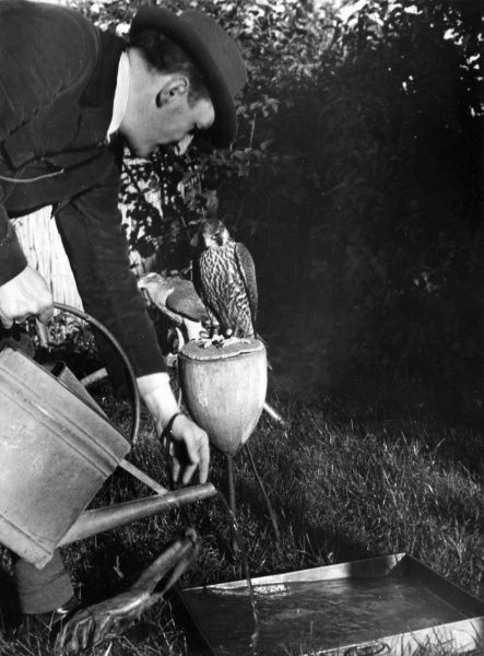 The falconer pours water for the bird to drink, from a watering can into a trough. Date: 1930s