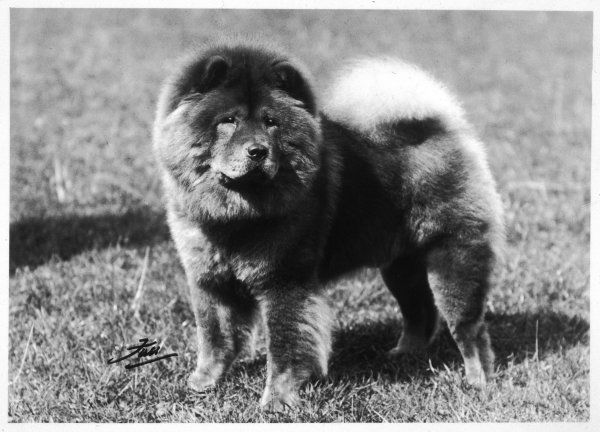 CHAMPION CHOONAM HUNG KWONG CRUFTS BEST IN SHOW 1936 Owned and bred by Mrs VAM Mannooch Sired by Champion Choonam To To