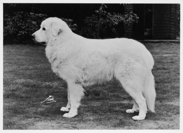 BERGERIE KNUR Breed: Pyrenean Mountain Dog Owned by Miss P Grant Dalton Bred by Mr & Mrs F Prince Sired by: Bergerie Abila de Fontenay