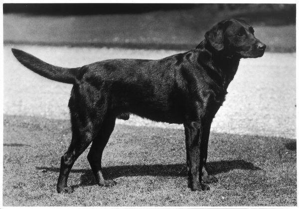 CHAMPION CHEVERELLS BEN OF BANCHORY Breed: Labrador Retriever Owned by RG Heaton Bred by Lorna, Countess Howe Sired by Ch. Ingleston Ben