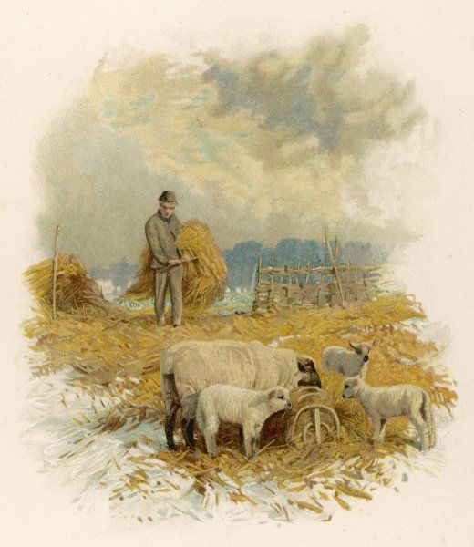A shepherd brings a bale of hay to his flock in winter- time