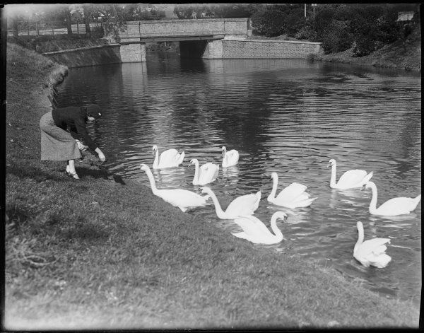A young lady feeding a group of swans