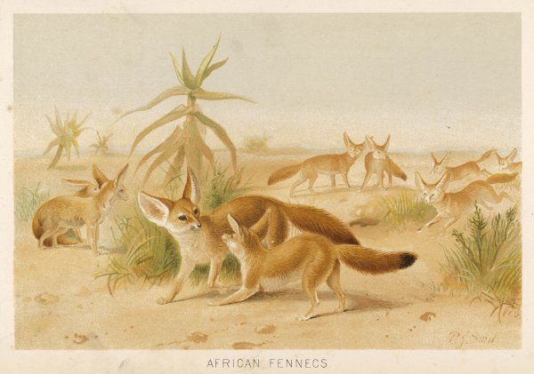 Canis zerda. Fox-like creature from Africa, notable for its very long ears. All the better to hear you with