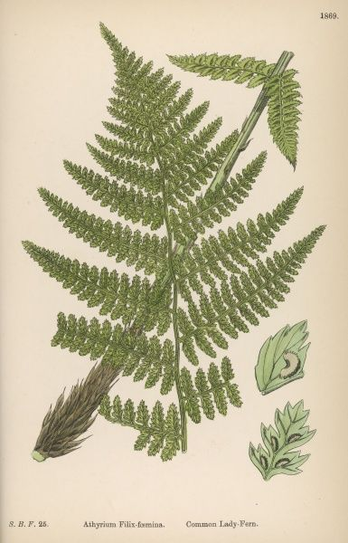COMMON LADY-FERN