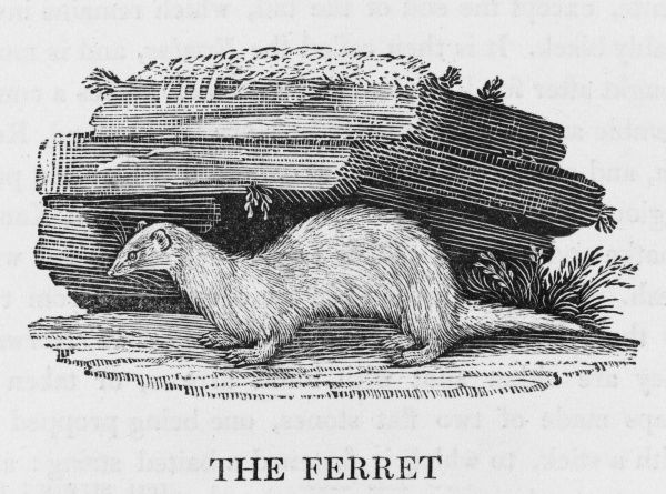 Mustela furo. A kind of polecat, used by hunters to drive rabbits from their burrows