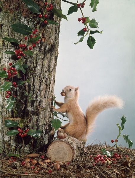 Festive tableau with a stuffed red squirrel perched amongst the holly berries with his nut and pine cone hoard gathered in for the winter
