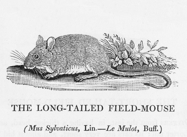 mus sylvaticus - the LONG- TAILED FIELD-MOUSE : this is the Country Mouse of Aesop's fable, who prefers to risk reapers and predator birds to adopting an urban lifestyle