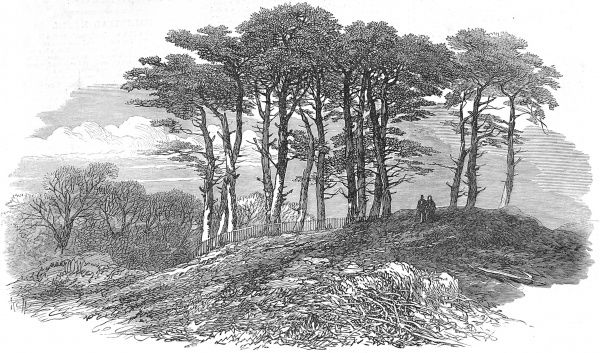 Engraving showing a group of fir trees on a hillock near North End, Hampstead Heath, 1871